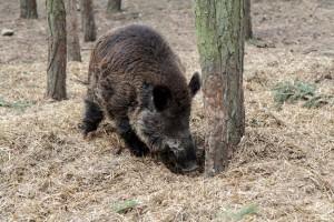 Für Wildschweine gibt es viele Leckerreien in unseren Gärten