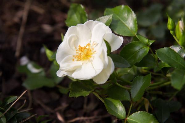 Mit Rosen als Bodendecker lassen sich schöne Gärten gestalten