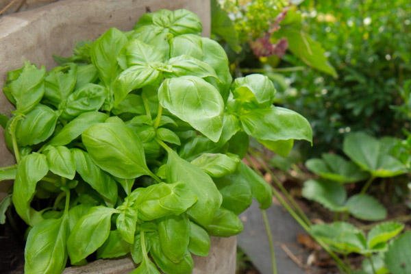 Basilikum lässt sich leicht kultivieren