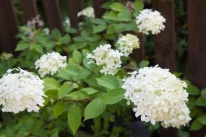 Die Rispenhortensie Limelight mit ihren reinweißen, kegelförmigen Blüten.