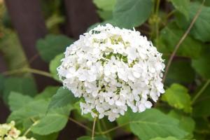 Die Ballhortensie Annabelle liebt sonnige bis halbschattige Standorte und blüht üppig in einem reinen weiß.
