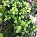 Buchsbaum Alternative Ilex Crenata
