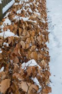 Eine Heinbuchenhecke wirft im Winter die Blätter nicht vollständig ab, ein gewisser Sichtschutz bleibt bestehen.