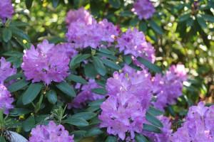Lila Blühender Rhododendron.