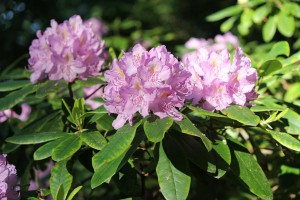 Rosa Blühender Rhododendron.