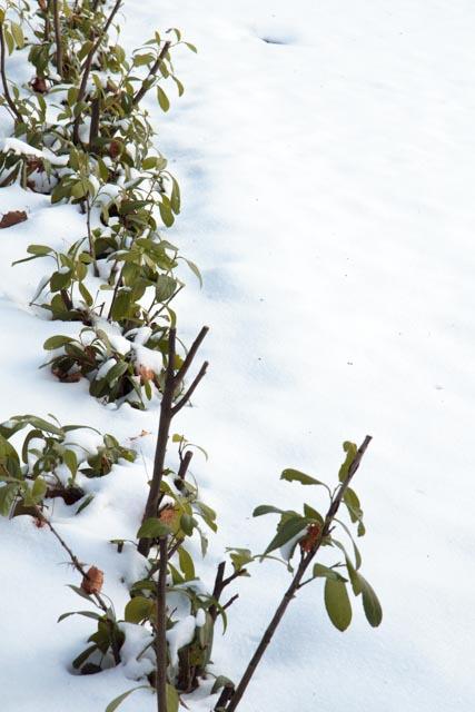 Bei strengen Wintern verkümmert der Kirschlorbeer, nicht in allen Gegenden Deutschlands kann man Kirschlorbeerhecken pflanzen.