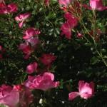 Dichte Blütenpracht und angenehmer Duft