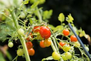 Kleine Tomaten sind ideal zum naschen für nebenbei, einfach zu pflegen und auch noch gesund!