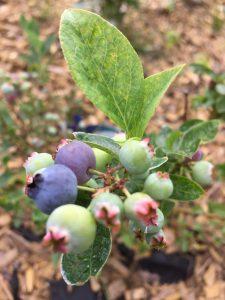 Blaubeeren Blue Crop